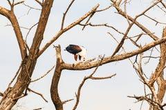 老鹰吞食在分支的鱼 Baringo,肯尼亚 库存图片