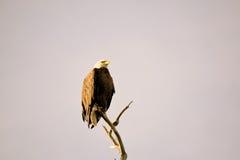 老鹰在早晨 库存照片
