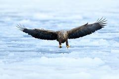 老鹰在海冰上的飞行着陆 与鸷的冬天场面 大老鹰,雪海 飞行白被盯梢的老鹰, Haliaeetus a 库存图片