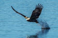 老鹰在鱼劫掠以后的叶子飞溅 库存图片