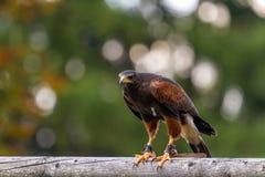 老鹰在Wildpark诺伊豪斯 免版税库存照片