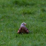 老鹰在Wildpark诺伊豪斯 库存图片