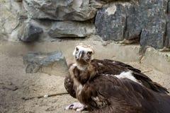 老鹰坐在一个痛苦的姿势的沙子 库存图片