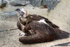 老鹰坐在一个痛苦的姿势的沙子 免版税库存图片