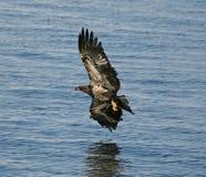 老鹰密西西比河 免版税库存图片