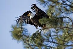 老鹰开始它的飞行从树 库存照片