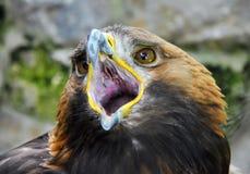 老鹰张开它的额嘴 免版税库存图片