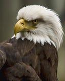 老鹰怒视 库存照片