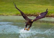 老鹰捕鱼 库存照片