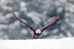 老鹰星 白头鹰, Haliaeetus leucocephalus,飞行的棕色鸷与白色头,黄色票据,自由的标志的  库存图片