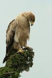 老鹰未成熟的黄褐色 免版税库存图片