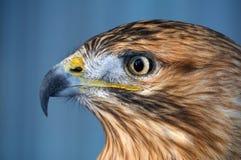 老鹰棕色严肃的画象视图 免版税库存照片