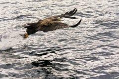 老鹰海运 免版税库存图片