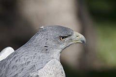 老鹰灰色 免版税库存图片