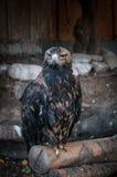 老鹰特写镜头 野生生物,鸟,老鹰,自然 免版税库存照片