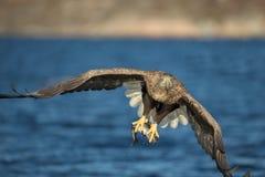 老鹰狩猎被盯梢的白色 免版税库存图片