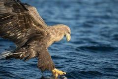 老鹰狩猎被盯梢的白色 免版税库存照片
