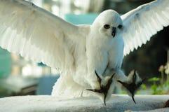 老鹰狩猎 免版税图库摄影