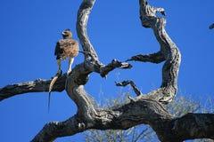 老鹰狩猎 库存照片