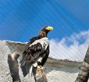 老鹰白色飞过了 库存图片