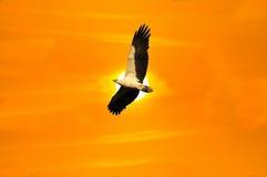 老鹰白色鼓起的飞行 免版税库存照片