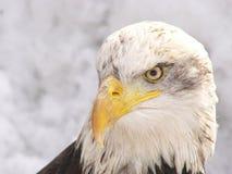 老鹰白色 免版税库存图片