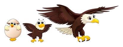 老鹰的发展用不同的年龄 免版税库存图片