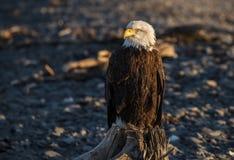 老鹰的纵向 免版税库存照片