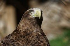 老鹰的画象 库存图片