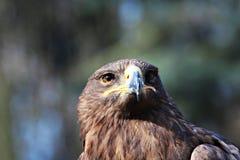 老鹰的画象 免版税库存图片