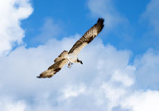老鹰的攻击 免版税库存图片