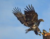 老鹰着陆传播翼 库存照片