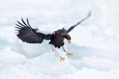 老鹰着陆冰 与雪的冬天日本 野生生物行动从自然的行为场面 野生生物日本 Steller ` s海鹰,鸟 库存图片