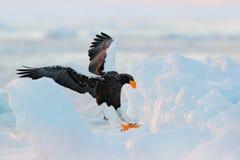 老鹰着陆冰 与雪的冬天日本 野生生物行动从自然的行为场面 野生生物日本 Steller ` s海鹰, bir 库存图片
