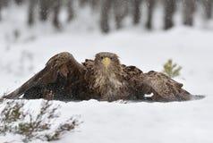 老鹰着陆 鸟着陆 库存照片
