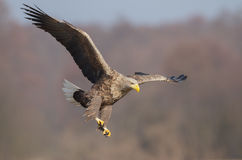 老鹰着陆 库存照片