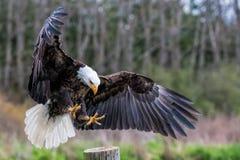 老鹰着陆 库存图片