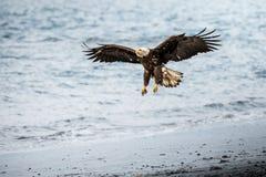 老鹰着陆 免版税图库摄影
