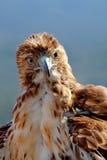 老鹰红色尾标(鵟鸟jamaicensis) 免版税库存照片