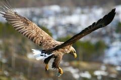 老鹰纵向海运 库存照片