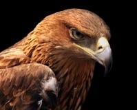 老鹰纵向 免版税库存图片