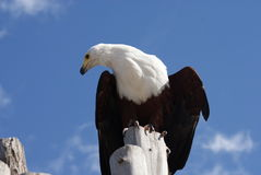 老鹰纵向 库存照片