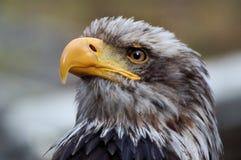 老鹰纵向 库存图片