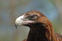 老鹰被盯梢的楔子 库存照片