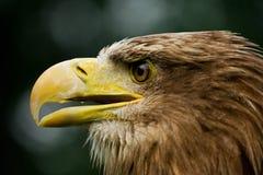 老鹰被盯梢的白色 免版税库存照片