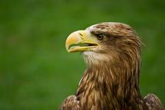 老鹰被盯梢的白色 图库摄影