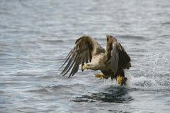 老鹰被盯梢的白色 库存照片