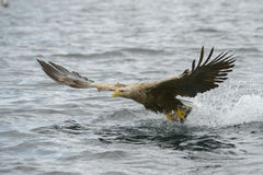 老鹰被盯梢的白色 免版税图库摄影