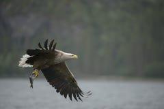 老鹰被盯梢的白色 免版税库存图片
