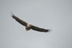 老鹰被盯梢的白色 库存图片